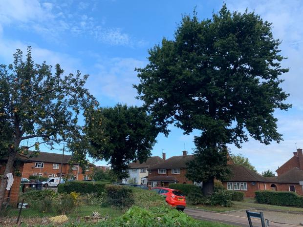 Forestry Journal: The two trees (middle and right) in Ely Gardens which Hertsmere Borough Council says need cutting down.
