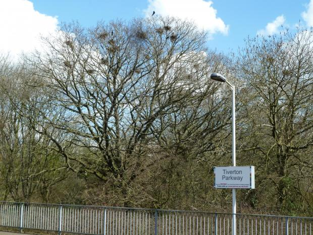 Forestry Journal: Rooks hedging their bets in choice of tree species as nesting sites – English oak centre stage and common ash on the right in this small English West Country woodland.