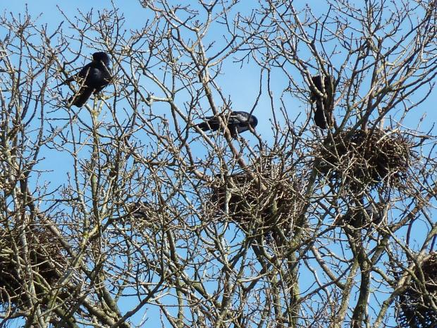 Forestry Journal: Rooks are highly sociable corvids with multiple nests in a single tree – in this case English oak.