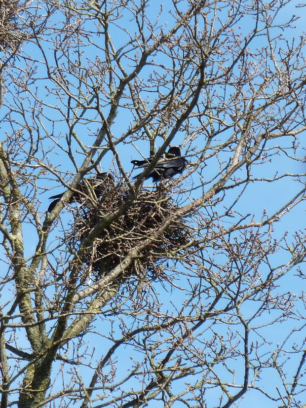 Forestry Journal: Mid April 2016 and this English oak tree is not showing any clear signs of bud burst and indicating a tardy spring. However, both male and female rooks are in attendance suggesting that the eggs, traditionally laid in March, have already hatched.