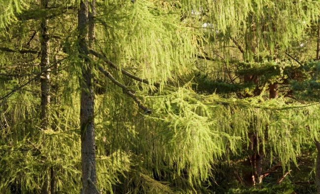 FLS surveying larch to control Phytophthora spread