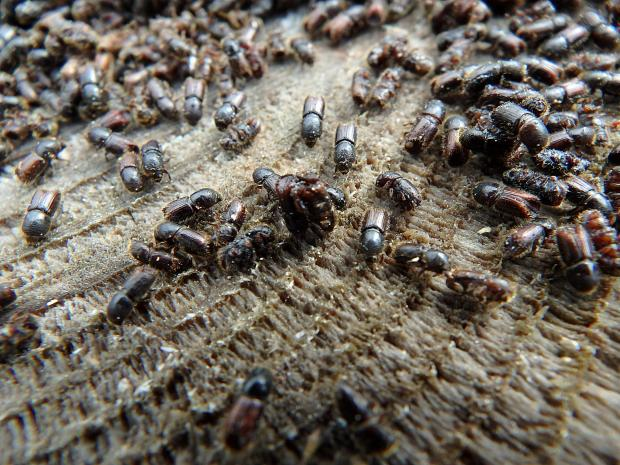 Forestry Journal: The European spruce bark beetle (Ips typographus) is a common and potentially devastating pest which tunnels under bark, cutting off the supply of food and water the tree needs to survive.